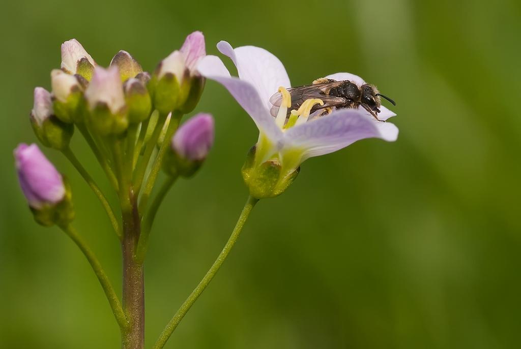 Wildbiene auf Wiesenschaumkraut