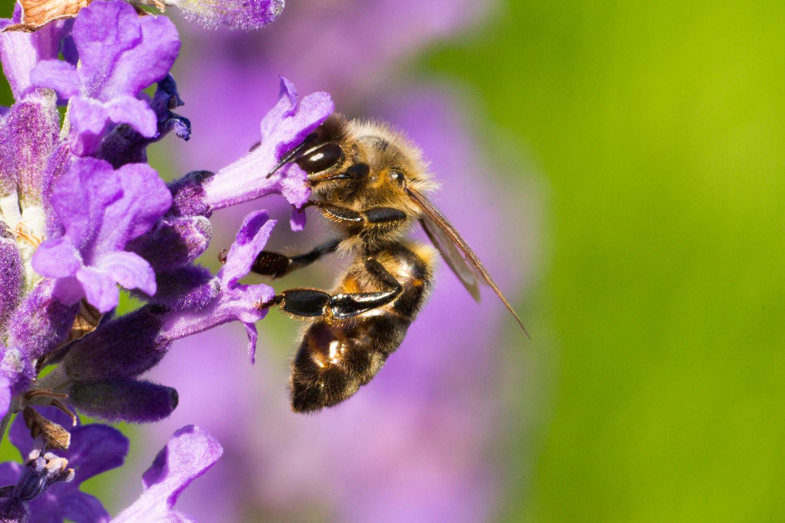 Wildbiene bei der Arbeit