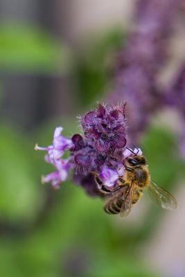 Wildbiene besucht Basilikum