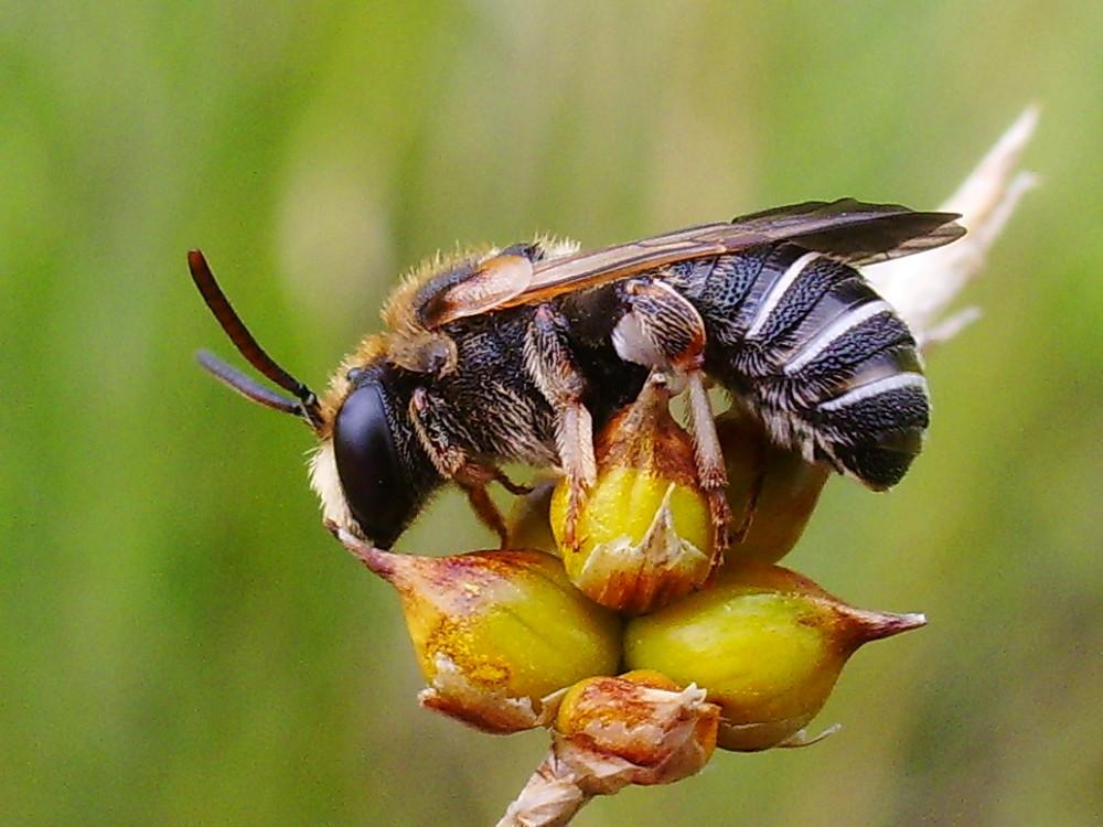 Wildbiene (Gattung Nomia)