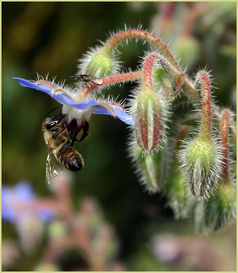 Wildbiene & Honigbiene