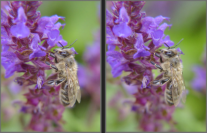 Wildbiene II Parallelblick