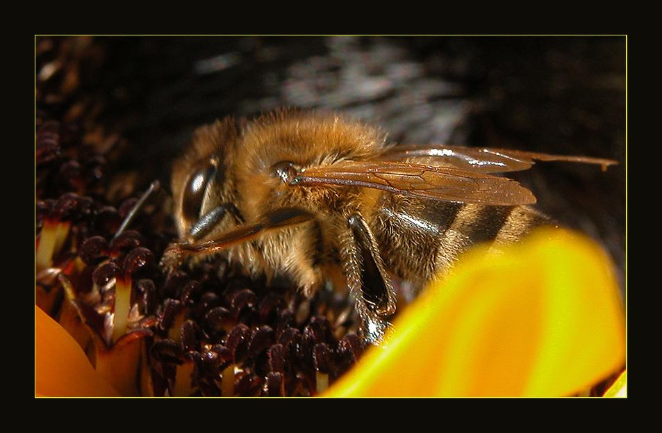 Wildbiene in Sonnenblume..