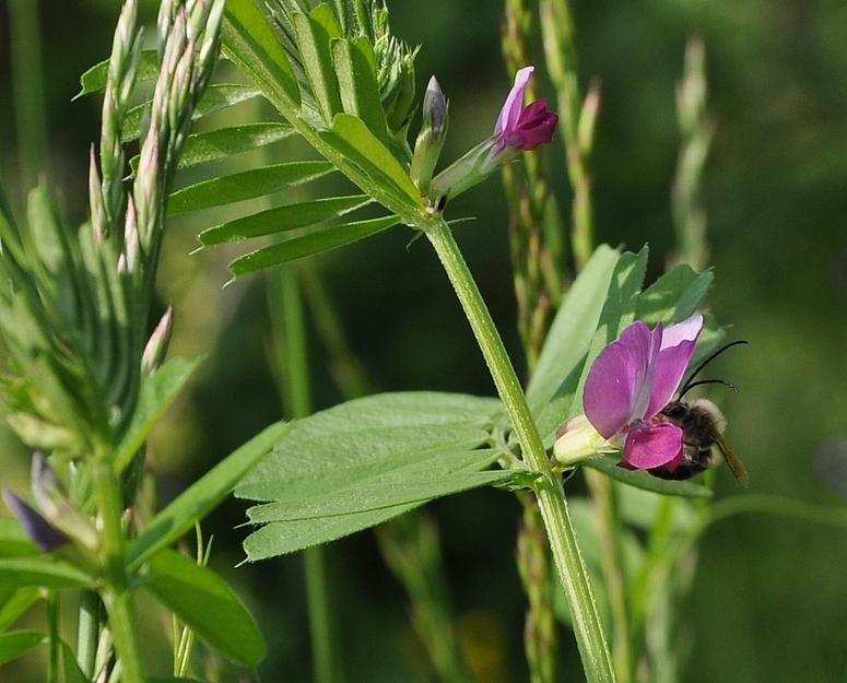Wildbiene -welche ?