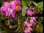 Wildbienen im Garten 1 - Die Rote Mauerbiene