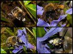 Wildbienen im Garten 2 (Frühlings-Pelzbiene)