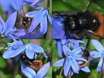 Wildbienen im Garten 3: Die gehörnte Mauerbiene