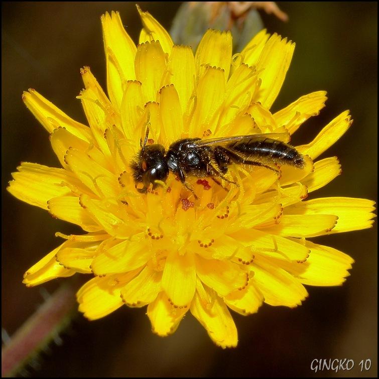 Wildbienen VIII