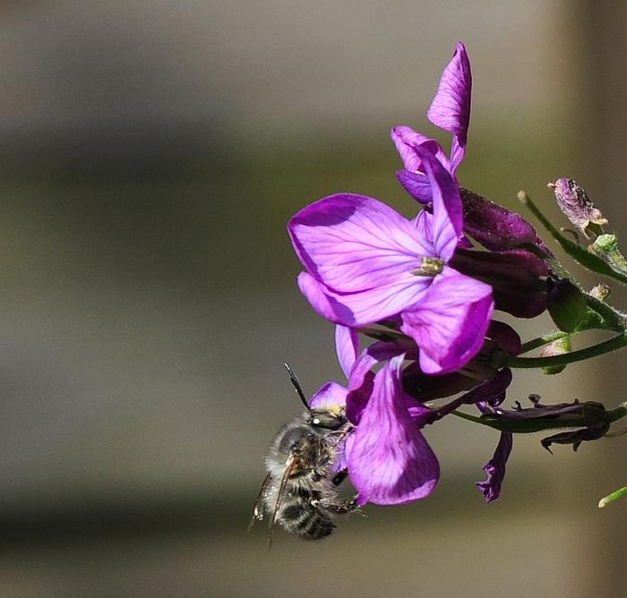 Wildbienenart an den Blüten des Schillingskraut