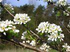 Wildbirnenblüten