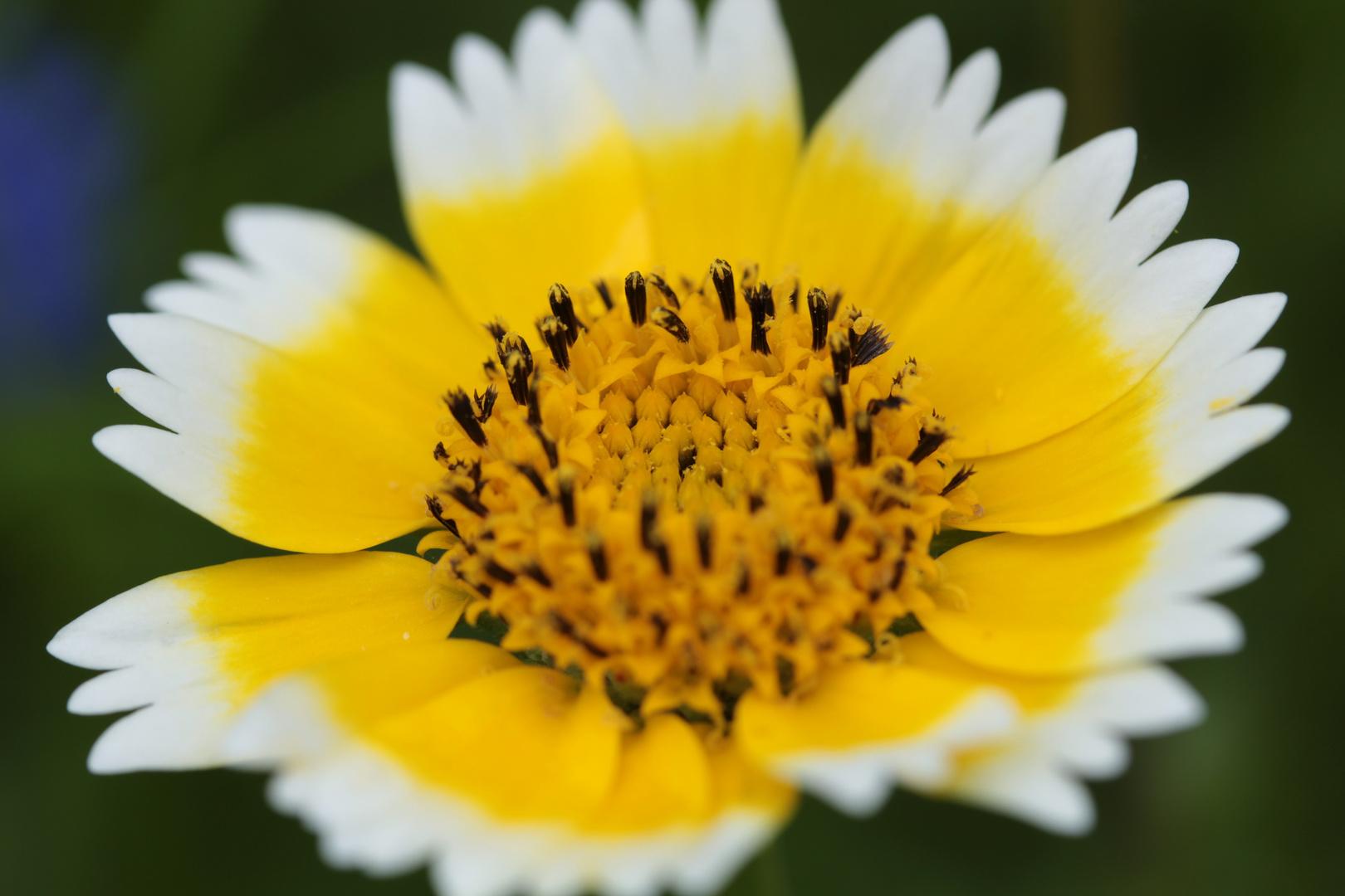 Wildblume 2