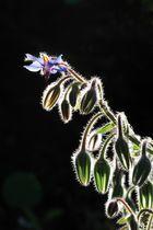 Wildblume im Gegenlicht