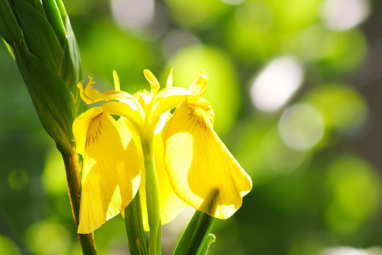 Wildblume Raakmoor