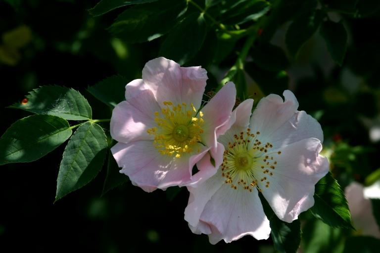 Wildblumen (116)
