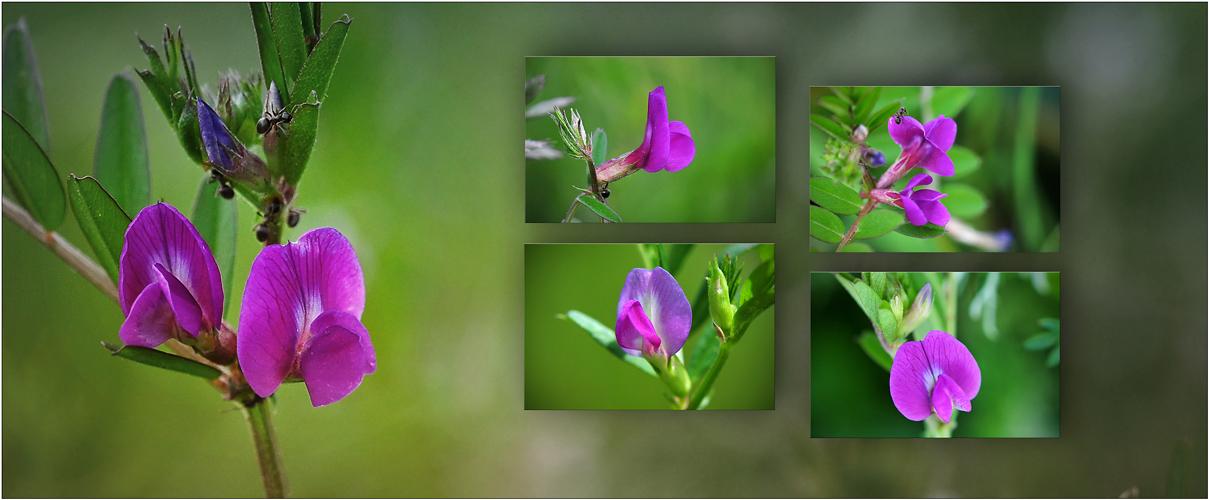 Wildblumen 16 - Die Saat-Wicke (Vicia sativa), ...