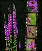 Wildblumen 17 - Der Gewöhnliche Blutweiderich (Lythrum salicaria), ...