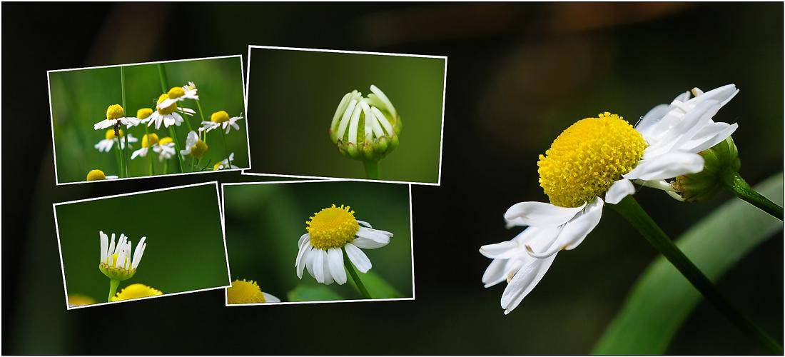 Wildblumen 26 - Die Echte Kamille ((Matricaria chamomilla) ...