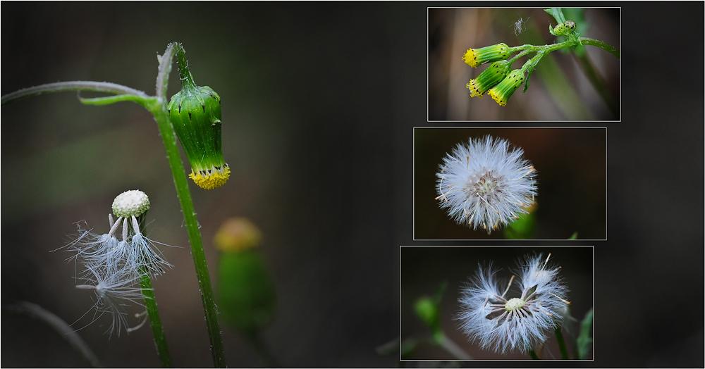 Wildblumen 28 - Das Gemeine Kreuzkraut (Senecio vulgaris) ...