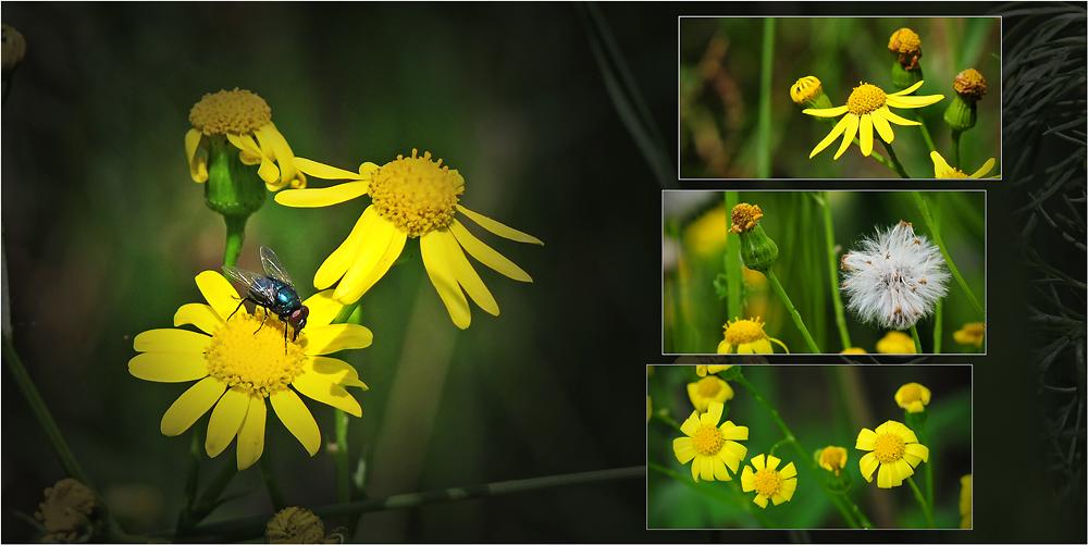 Wildblumen 29 - Das Jakobs-Greiskraut (Senecio jacobaea; Syn.: Jacobaea vulgaris Gaertn.) ...