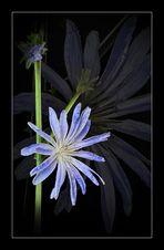 Wildblumen 33 - Die Gemeine Wegwarte (Cichorium intybus), auch Zichorie genannt, ...