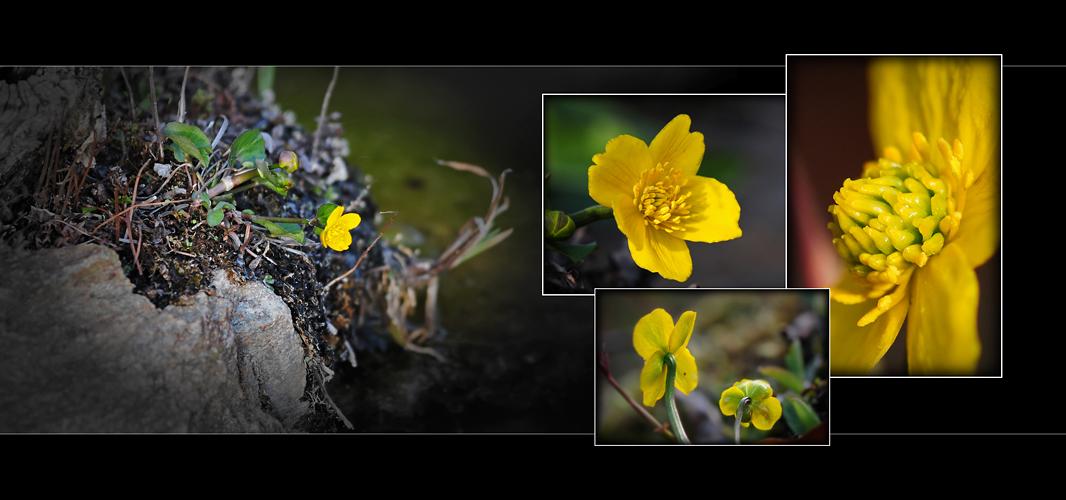 Wildblumen 41 - Die Sumpfdotterblume (Caltha palustris) ...