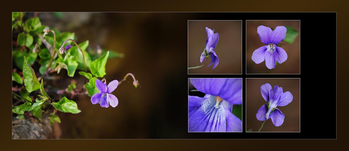 Wildblumen 42 - Das Duftveilchen (Viola odorata), ...