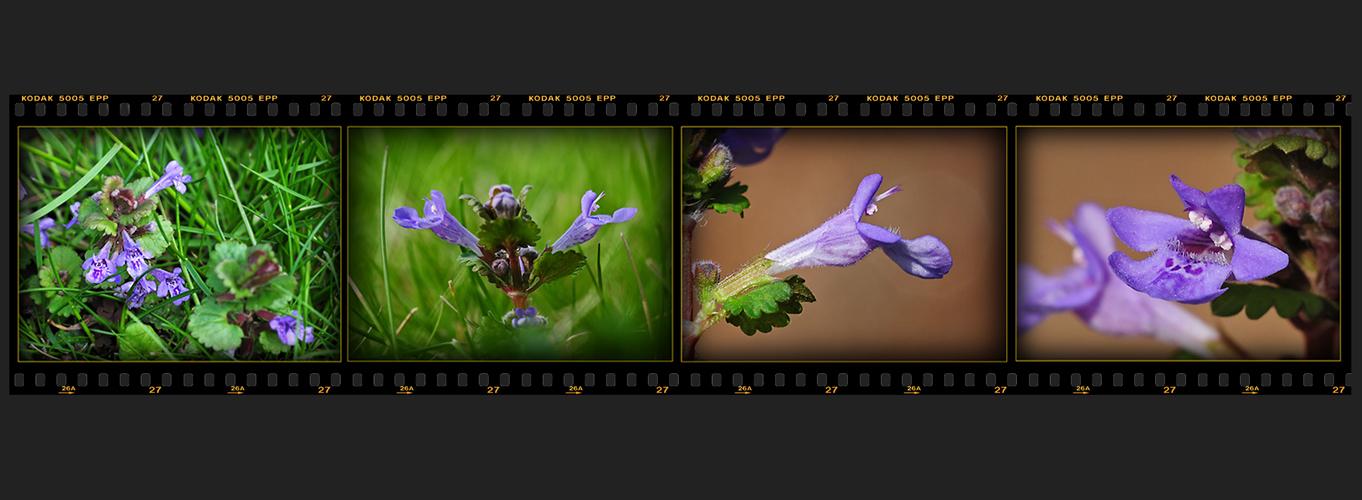 Wildblumen 44 - Der Gundermann (Glechoma hederacea), ...
