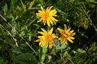 Wildblumen (74)