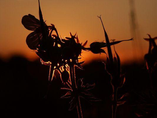 Wildblumensilhouette
