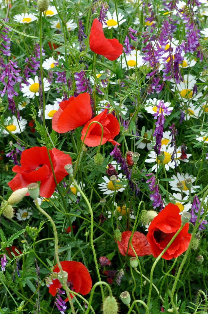 Wildblumenwiese in Istrien