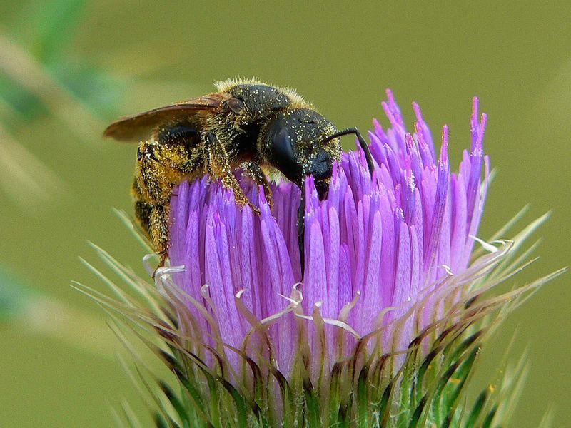 wilde Biene in Natur