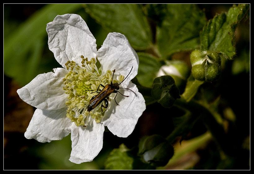 Wilde Brombeere - Blüte