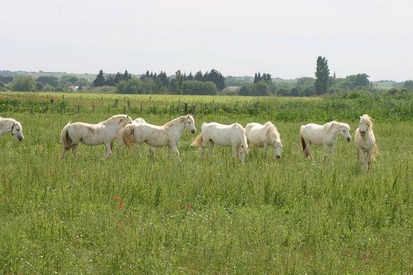 Wilde Camarq-Pferde