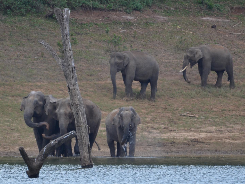 Wilde Elefanten in Südindien