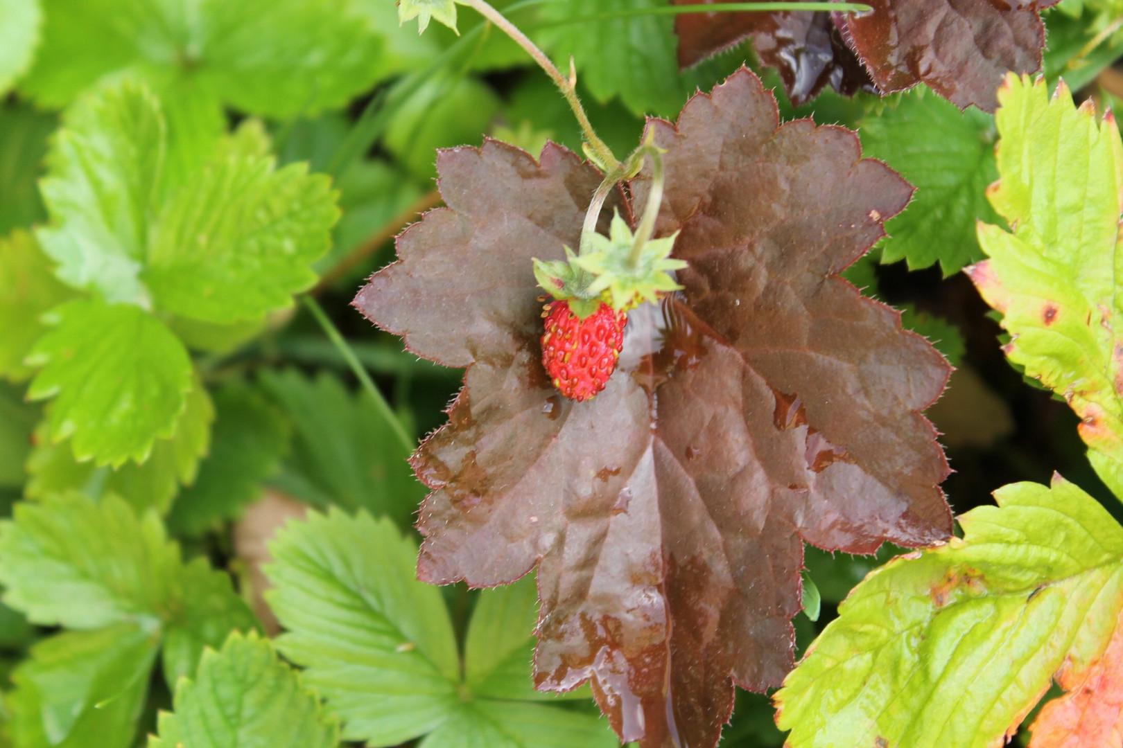 Wilde Erdbeere getarnt