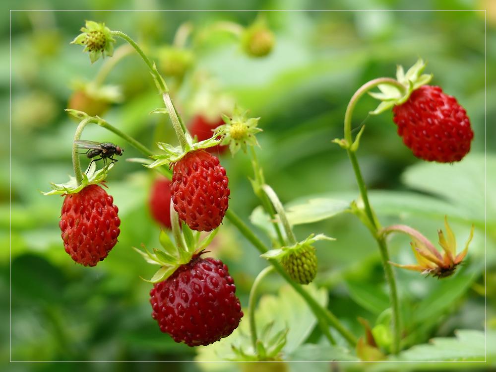 wilde erdbeeren foto bild pflanzen pilze flechten fr chte und beeren bl ten und. Black Bedroom Furniture Sets. Home Design Ideas