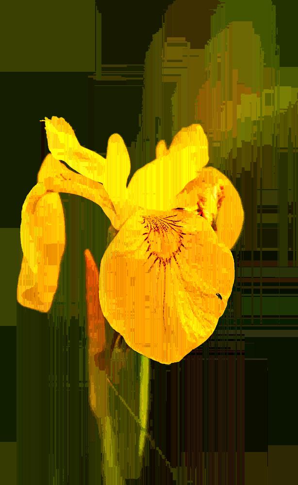 Wilde Iris - 3