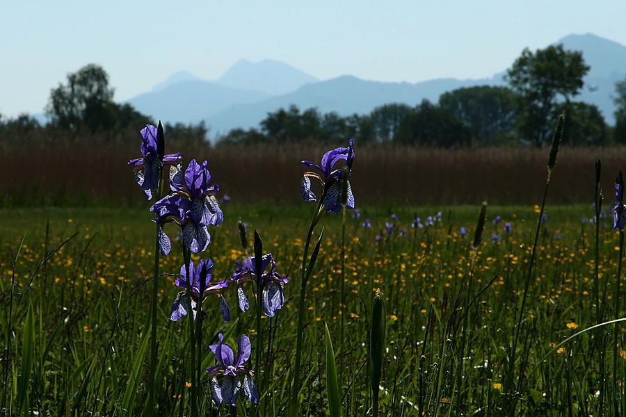 Wilde Iris