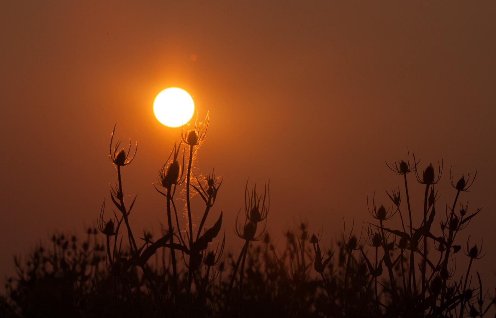 Wilde Karde im Sonnenuntergang