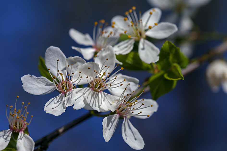 Wilde Kirschblüte