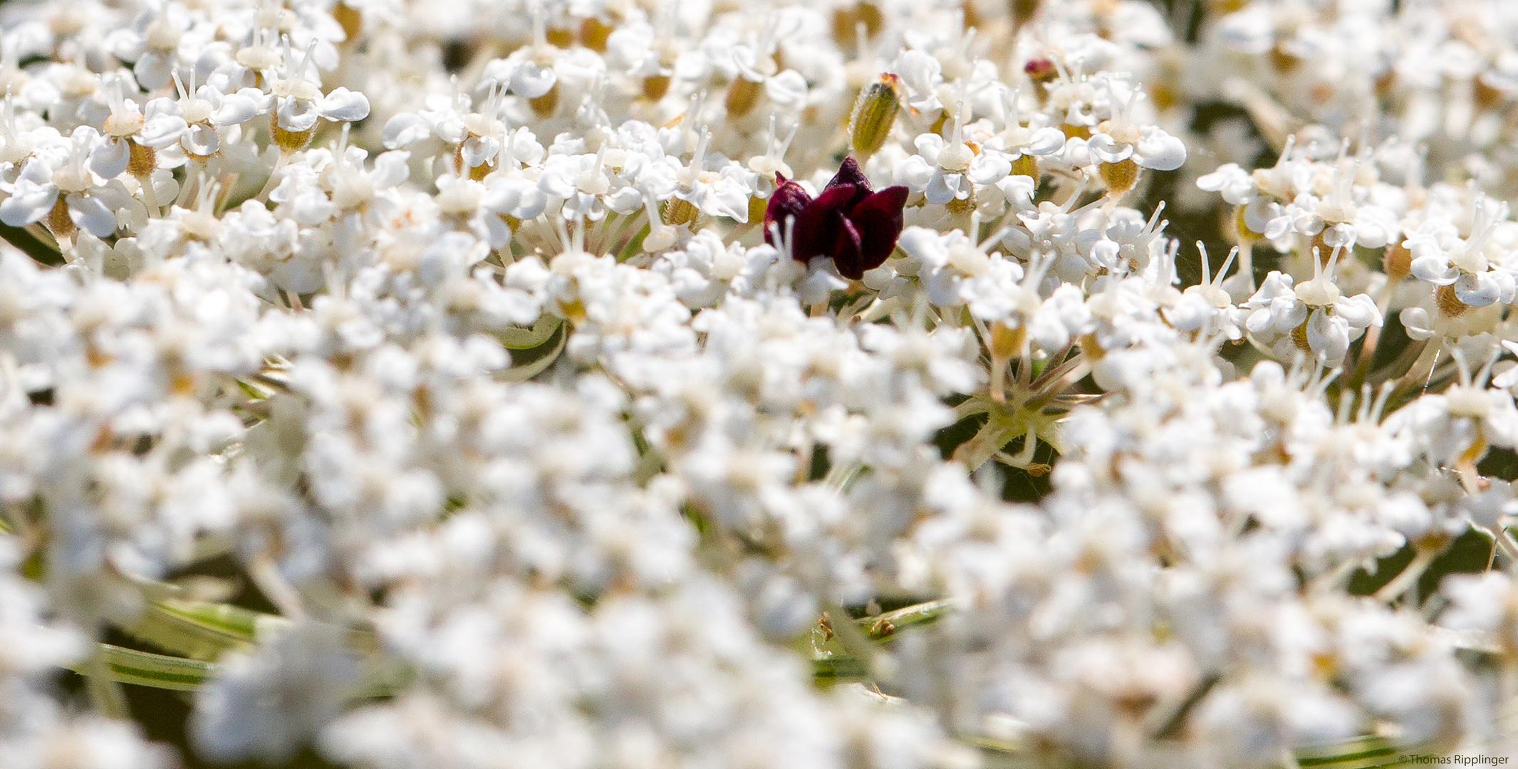Wilde Möhre (Daucus carota subsp. carota).
