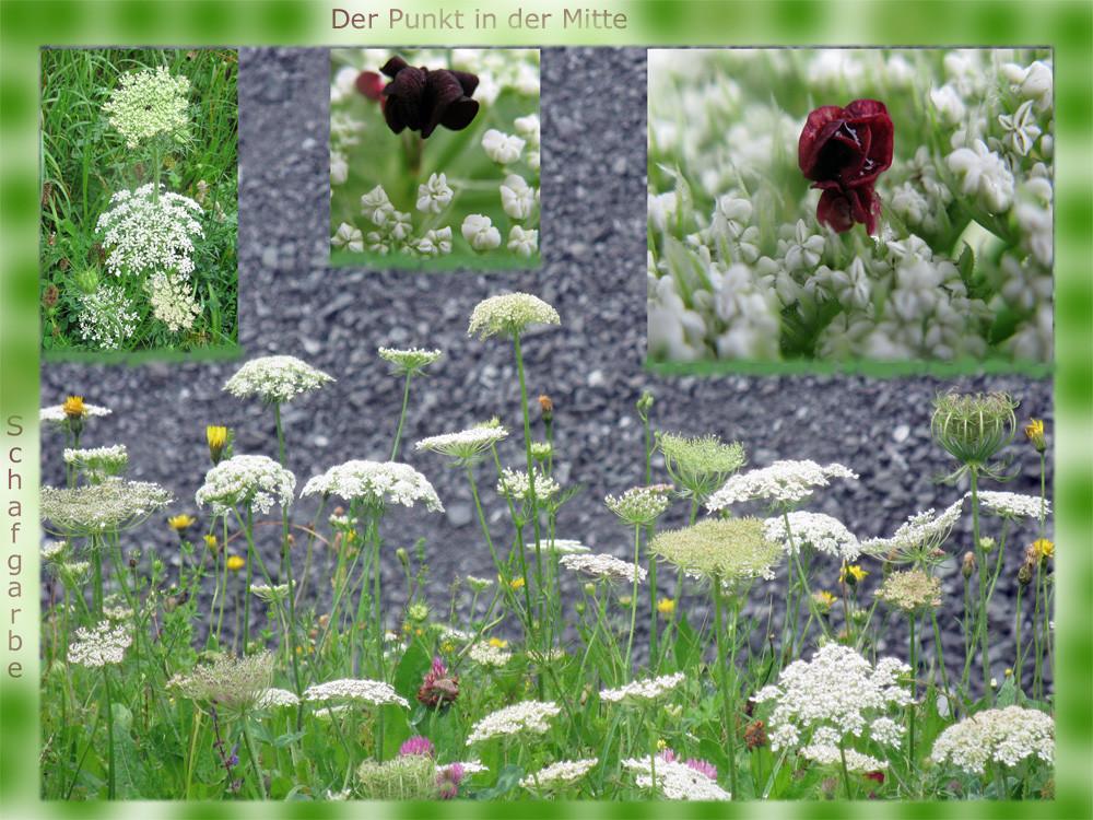 wilde m hre oder schafgarbe foto bild pflanzen pilze flechten heilpflanzen natur bilder. Black Bedroom Furniture Sets. Home Design Ideas