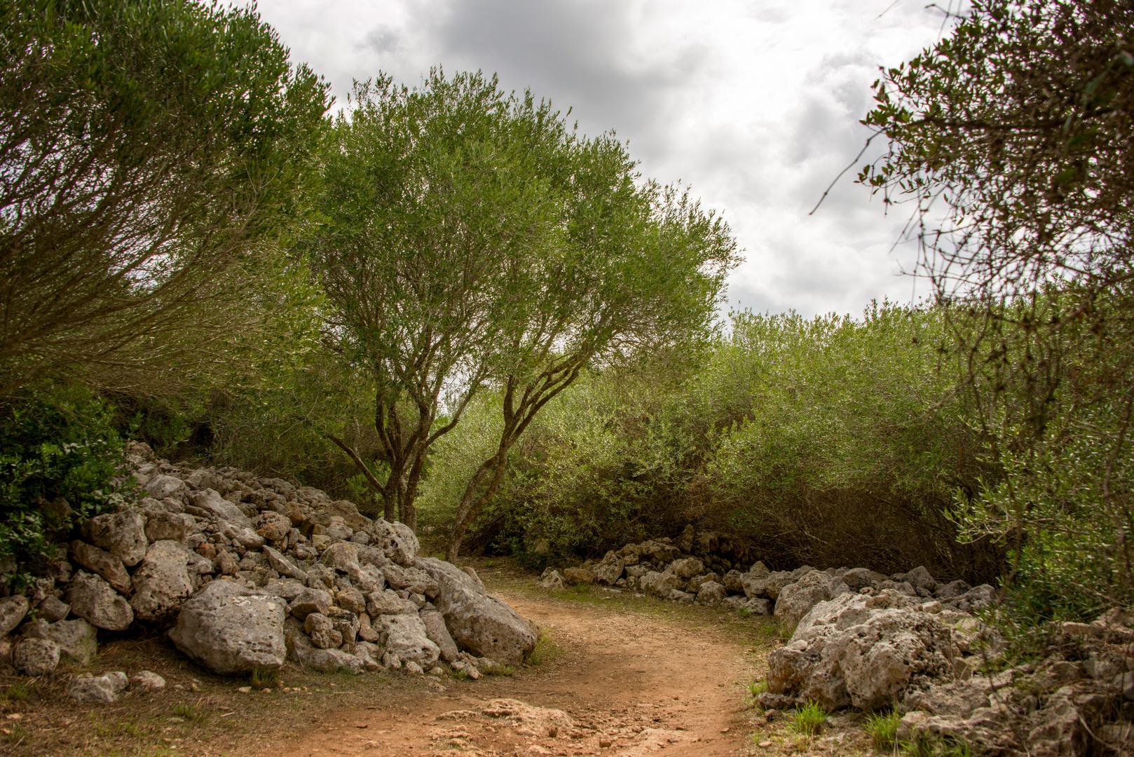 Wilde Olivenbäume in Menorca