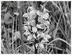 Wilde Orchidee S/W
