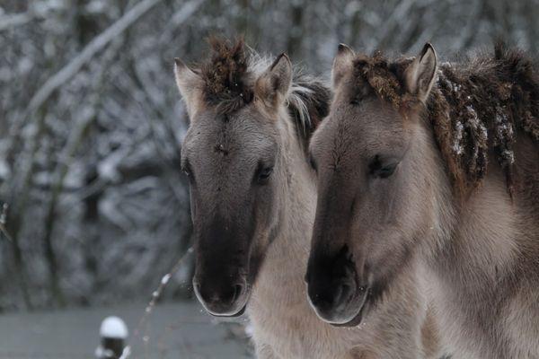 Wilde Pferde in der Ooij, Niederrhein