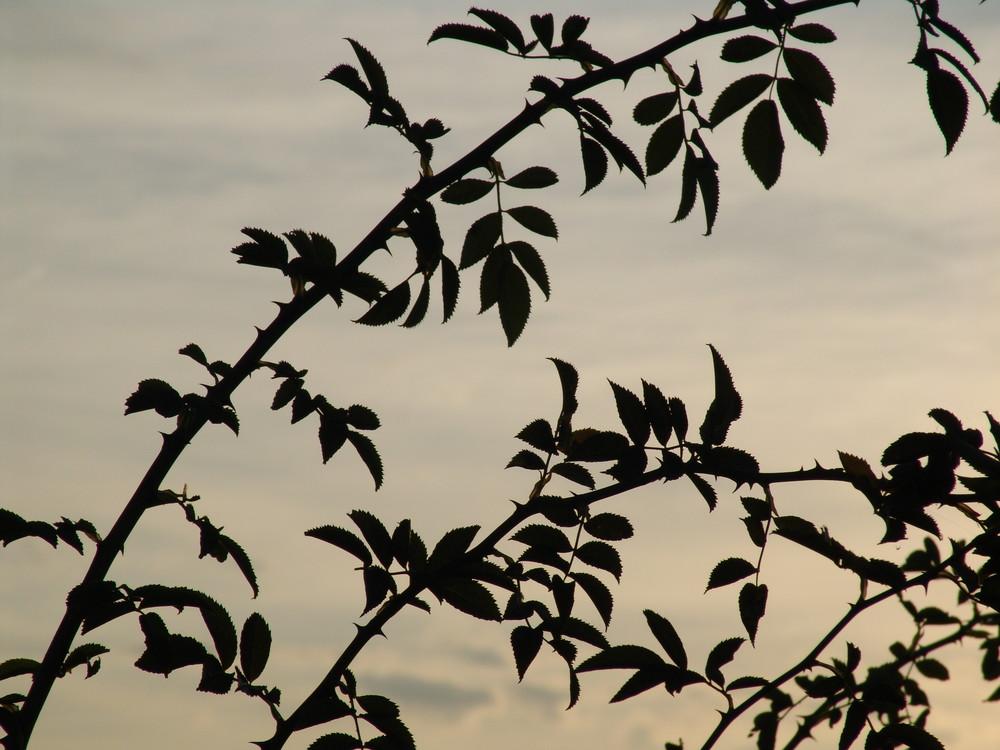 Wilde Rosen - Herbstabend
