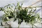 Wilde Schneeglöckchen im Spreewald gefunden