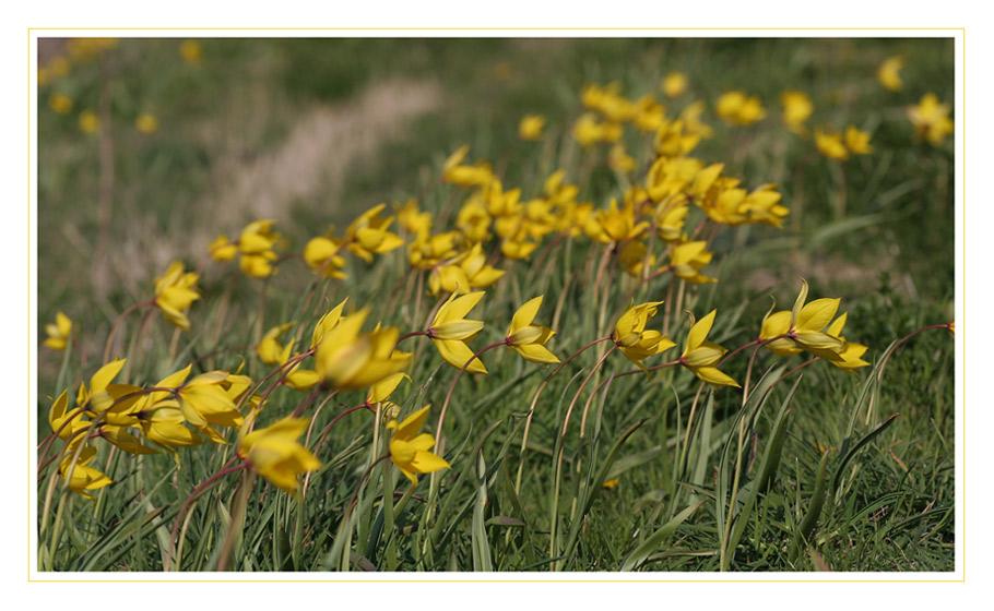 wilde Tulpen wiegen sich im Wind...