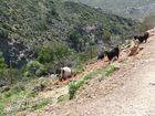 Wilde Ziegen mit Tomaten auf Kreta