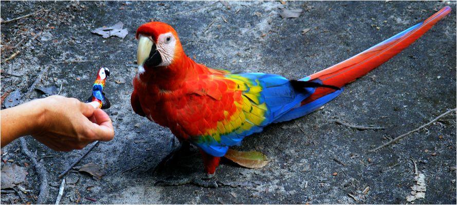 Wilder Ara mit Lockvogel